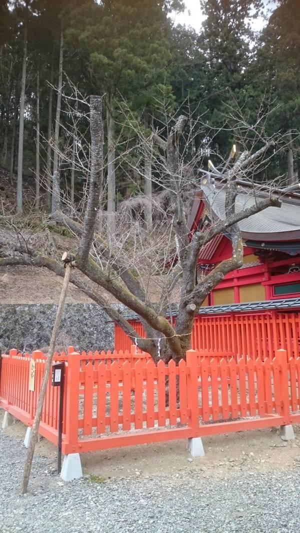 「金の成る木の金櫻」金櫻神社